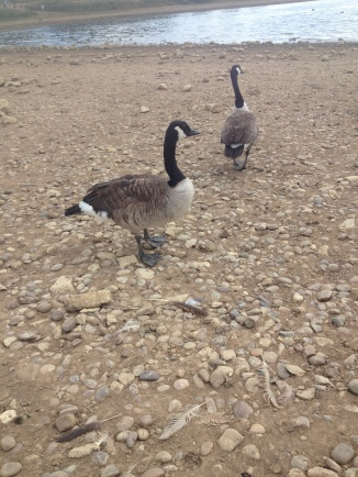 Geese that seemed fierce but then weren't